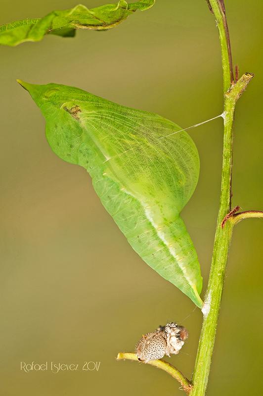 Gcleopatra-pupa