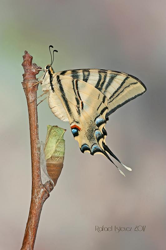 Ipodalirius-Emergencia de I.podalirius secando las alas. Agosto 2017